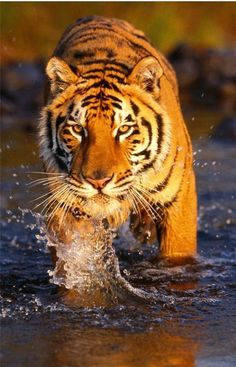 Cool Tiger Glossy Poster Picture Photo Bengal Tigre Animals Jungles Stripes 88