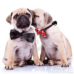 Is the puppy whispering something?. adorable pugs