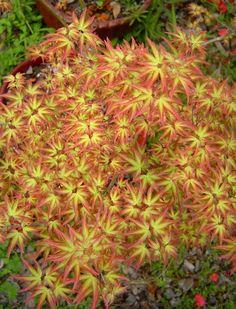 Acer palmatum Tatoo
