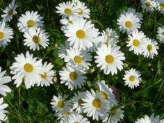 Kalendář sběru planých léčivek je nepostradatelný pomocník bylinkářů | | MAKOVÁ PANENKA Korn, Herbalism, Garden, Nature, Plants, Beautiful, Syrup, Garten, Flora