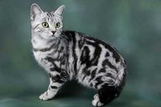 British Silver Tabby cat (British shorthair)