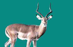 De 58ste Gene Key is afgeleid van het 58ste hexagram van de I'Ching: Het Het Blijmoedige, het meer. De Gene Keys zien een ontwikkeling vanuit de Schaduw van Ontevredenheid naar de Gave van Vitaliteit. Vervolgens gaat deze naar de Siddhi van Gelukzaligheid. De antilope is totemdier van de 58ste Gene Key. Lees meer: Giraffe, Animals, Giraffes, Animales, Animaux, Animal Memes, Animal, Animais, Dieren