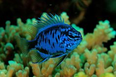 Blue Sapphire Damselfish, Chrysiptera springeri