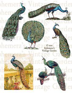 Vintage Peacocks  Digital Collage Sheet by EphemerasGarden on Etsy, $4.00