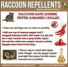 Healthy Living: Best repellent recipes to get rid of raccoons