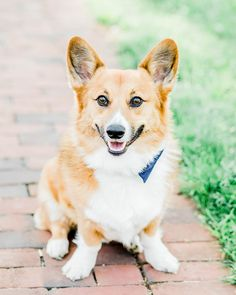 cute dog sitting on brick sidewalk, handsome Corgi, ©Morgan Lee Photography | Northern Virginia pet portraits #corgi