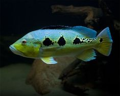 Orinoco Peacock Bass, Cichla orinocensis Species Profile, Orinoco Peacock Bass Care Instructions, Orinoco Peacock Bass Feeding and more. :: Aquarium Domain.com