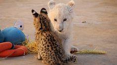 Bucket list: Volunteer abroad with animals - Frivillig arbeid med store kattedyr - KILROY #animals #cats #lions #cheetah #volunteering #africa