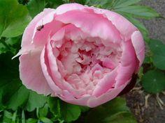 Kerrottu Louise Odier ruusu vuodelta 2003