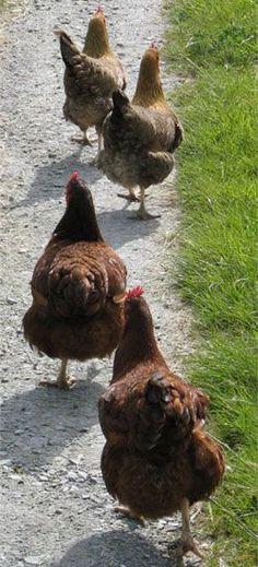 Keeping Chickens at Home.: Keeping & Raising Chickens At Home