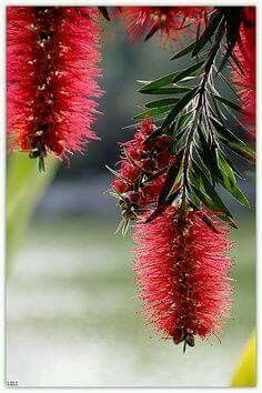 native Australian flower - commonly called bottlebrush - loved by all nectar loving birds. My street is lined with these. Australian Native Garden, Australian Native Flowers, Australian Plants, Australian Bush, Australian Birds, Unusual Flowers, Unusual Plants, My Flower, Beautiful Flowers