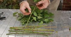 # Tips For Landscaping On A Budget Taking rose cuttings an easy to guide, we also show you how to grow your roses in potatoes.Taking rose cuttings an easy to guide, we also show you how to grow your roses in potatoes. Growing Plants, Roses In Potatoes, Container Gardening, Raised Bed Vegetable Garden Plans, Plants, Herbs, Planting Flowers, Container Gardening Vegetables, Growing Roses