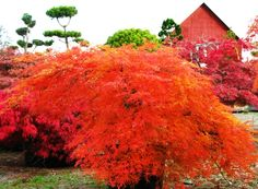 'Viridis' Japanese Maple (Acer palmatum dissectum): Amazing fall color, otherwise is green, x mostly shade Japanese Garden Zen, Asian Garden, Japanese Maple, Colorful Shrubs, Colorful Trees, Garden Shrubs, Shade Garden, Lakeside Garden, Small Trees For Garden