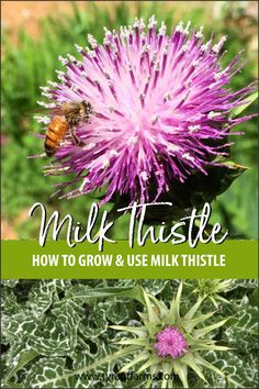 Find out how to grow and use milk thistle without it escaping your garden. Milk thistle makes a delicious tea and is even used as a life-saving medicine! Thistle Plant, Thistle Seed, Thistle Flower, Milk Thistle Uses, Full Sun Plants, Herbs For Health, Edible Plants, Growing Herbs, Medicinal Herbs