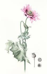 Image result for Chelsea School of Botanic Art
