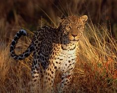 1280x1024 px leopard image by Grainger Black