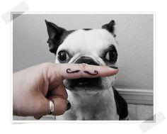 moustache french bulldog.