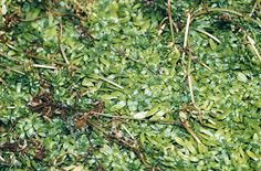Common water starwort (Callitriche stagnalis) | Height Up to 10 cm | Spread: 0.1-0.5 m | Plant in ponds and streams at a depth of between 15cm-60cm