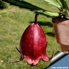 Стапелия Линдерц (#stapelia_leendertzeae), черный колокольчик. Названа в честь Рено Линдерц, ботаника трансваальского музея, нашедшей (и описавшей) ее в Трансваале в 1909г.