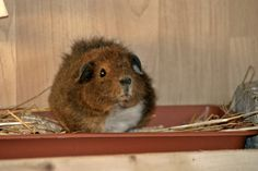 How hard is it to toilet train guinea pigs? If they can use a toilet, it will make their home tidier. Guinea Pig Care, Guinea Pigs, Toilet Training, Animals, Animales, Animaux, Animal, Animais