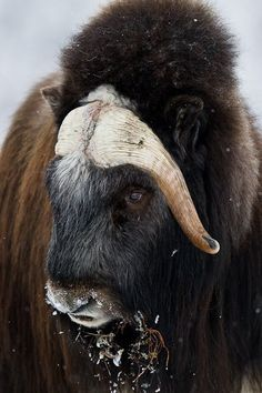 Musk Ox  - awesome animals
