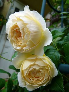 Photo of the rose 'Claire Austin' Claire Austin Rose, David Austin Roses, Romantic Roses, Beautiful Roses, All Flowers, Pretty Flowers, Yellow Roses, Red Roses, Every Rose