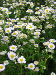 Fleabane (Erigeron), 4-10 in., lavender or white and pink with yellow centers, long blooming and super easy, drapes, sun or shade, drought and deer resistant, native. Free-blooming plants with dai…