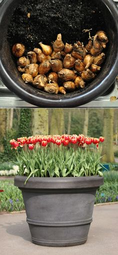 Growing Tulips in Pots, Plant in Sept - Oct.
