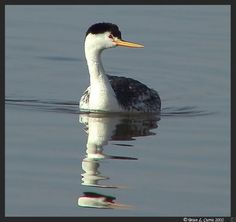 Clark's Grebe. Apr 13, 1993  *Salton Sea NWR, CA..ss clarkii. Used 9x25 nikons. North Shore of SS SWR. Several Clark's mixed in w/ @ 20  Western. Got to compare the two w/ both in same view! (Photo by bcurrie)