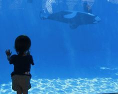 Cutest. Sight. Ever. A little girl watches as Ulises swims laps around the DWS pool. She was just taken with him in every way, it was so magical to see :) After my 2011 trip, I made a promise to never step foot past the front gates of a Sea World ever again. No way are they going to treat wild animals like this and get my support. Hell no.