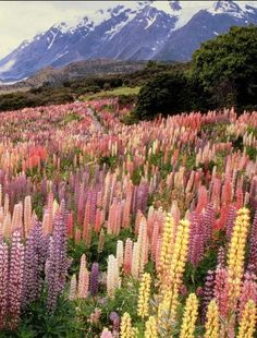 Field of Lupines, I ❤️ this flower!!!                              … …                                                                                                                                                                                 More