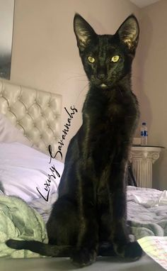 beautiful black savannah kitten melanistic panther Serval Kittens For Sale, Kitten For Sale, Savannah Kittens For Sale, Savannah Chat, Panther, Las Vegas, Exotic, Cats, Animals
