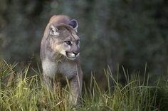 Onça-parda (Puma concolor)