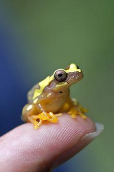 """earthandanimals: """"Tree Frog by G Steel """""""