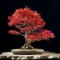 http://bonsaibark.com/wp-content/uploads/red.jpg