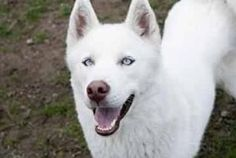 Titan is an adoptable Siberian Husky Dog in Ransomville, NY. Titan is a 10 month old pure bred all white Siberian Husky with Blue eyes. He is a very active dog so he is looking for a energetic new own...