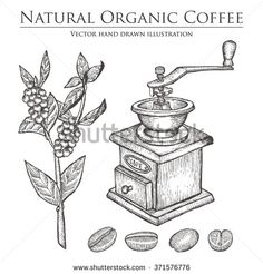 Coffee branch. Coffee plant with leaf. Coffee berry. Coffee bean. Coffee fruit. Coffee seed. Coffee mill. Natural organic caffeine drink. Hand drawn vector illustration on white. Green coffee, luwak. - stock vector