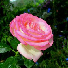 @ Rose - NYBG