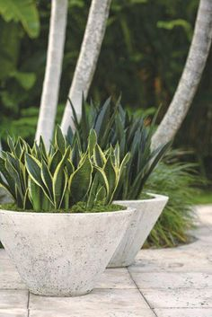 Snake Plant: Trouble-Free Gardening with Sansevierias - Garden Design Outdoor Planters, Concrete Planters, Outdoor Gardens, Concrete Backyard, Cement Patio, Modern Gardens, Concrete Wall, Small Gardens, Modern Garden Design