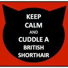 Britse korthaar