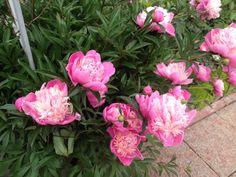Мои любимчике розовые пионы. 11.06.2017