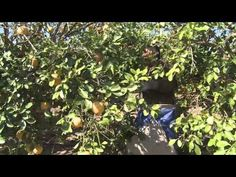 Watch the grapefruit harvest in the Lower Rio Grande Valley of Texas.