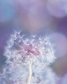 Dandelion Soft Focus ~ Print, by The Eye in Kelowna, British Columbia Dandelion Clock, Dandelion Wish, Dandelion Flower, Dandelion Wallpaper, Soft Purple, Shades Of Purple, Lilac, Periwinkle, Mauve