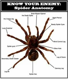 Tarantula Anatomy Diagram With Functions - Wiring Diagram & Fuse Box •
