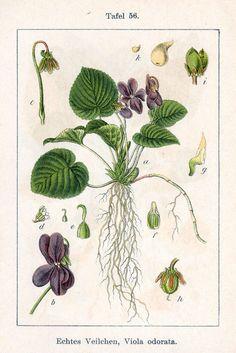 ботаника лист виолы: 11 тыс изображений найдено в Яндекс.Картинках