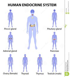 Human Silhouette With Endocrine Glands. Icons Set Stock ...