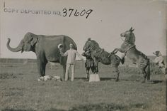 Part of a photographic series on performing animals, deposited by John A. Brown in 1920