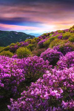 sundxwn: Mountain flowers in Hapcheonby jae youn ,Ryu Beautiful World, Beautiful Places, Beautiful Pictures, Landscape Photography, Nature Photography, Nature Scenes, Nature Pictures, Amazing Nature, Belle Photo