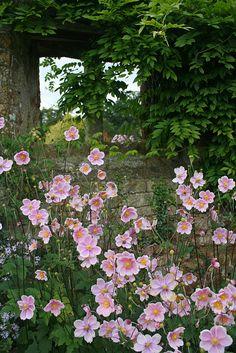 Pink anemone. Broughton Castle Gardens by Mijkra, via Flickr. Oxfordshire, England