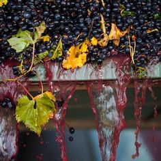 A little bit of warmer weather has seen the floodgates open on vintage! We've started harvesting McLaren Vale and Barossa Valley Shiraz in abundance. Exceptional colour and vibrant fruit flavours - just what the doctor ordered. #vintage2015 #shiraz #wine #McLarenVale #BarossaValley #yum #shirazweek by wolfblasswines
